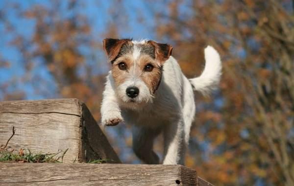 Парсон-рассел-терьер-собака-Описание-особенности-виды-характер-и-уход-за-породой-7