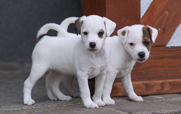 Парсон-рассел-терьер-собака-Описание-особенности-виды-характер-и-уход-за-породой-8