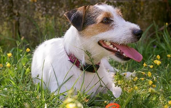 Парсон-рассел-терьер-собака-Описание-особенности-виды-характер-и-уход-за-породой-9