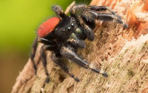 Паук-скакун-Описание-особенности-виды-образ-жизни-и-среда-обитания-скакуна-11