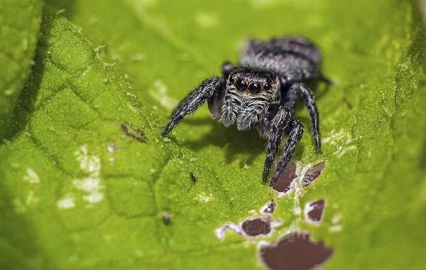 Паук-скакун-Описание-особенности-виды-образ-жизни-и-среда-обитания-скакуна-12
