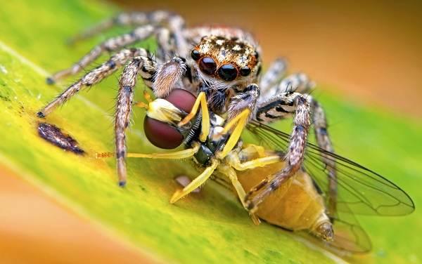 Паук-скакун-Описание-особенности-виды-образ-жизни-и-среда-обитания-скакуна-14
