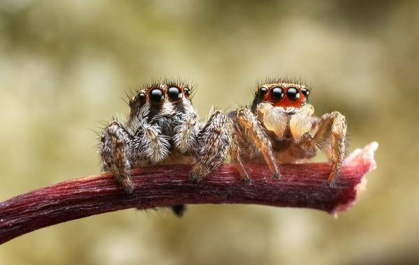 Паук-скакун-Описание-особенности-виды-образ-жизни-и-среда-обитания-скакуна-16