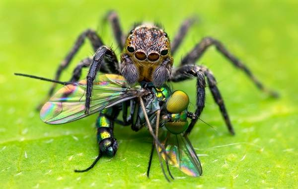 Паук-скакун-Описание-особенности-виды-образ-жизни-и-среда-обитания-скакуна-17