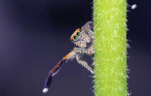 Паук-скакун-Описание-особенности-виды-образ-жизни-и-среда-обитания-скакуна-18