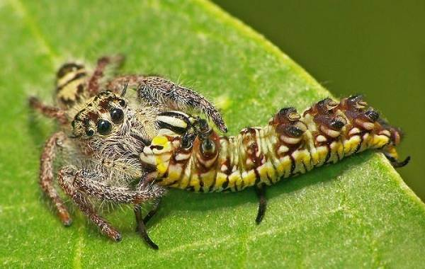 Паук-скакун-Описание-особенности-виды-образ-жизни-и-среда-обитания-скакуна-20