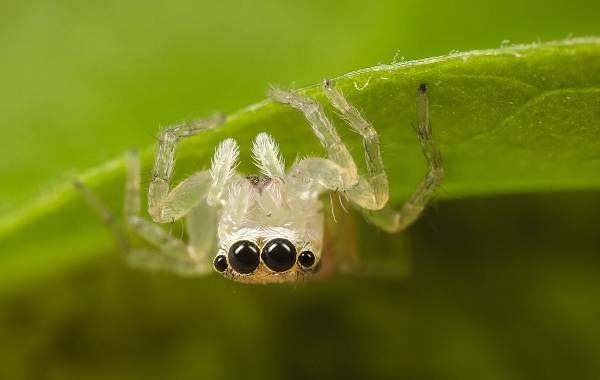 Паук-скакун-Описание-особенности-виды-образ-жизни-и-среда-обитания-скакуна-21