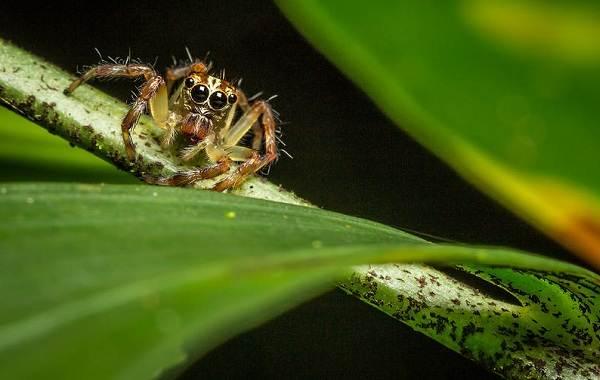 Паук-скакун-Описание-особенности-виды-образ-жизни-и-среда-обитания-скакуна-22