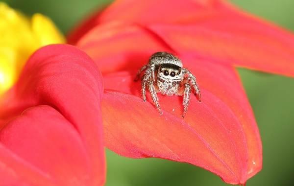 Паук-скакун-Описание-особенности-виды-образ-жизни-и-среда-обитания-скакуна-4
