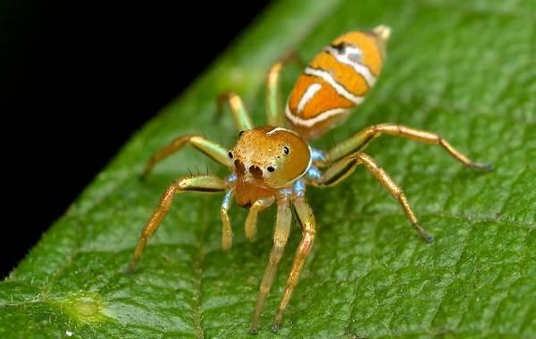 Паук-скакун-Описание-особенности-виды-образ-жизни-и-среда-обитания-скакуна-7