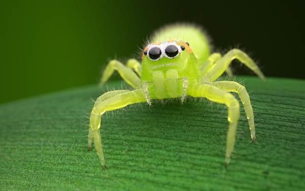 Паук-скакун-Описание-особенности-виды-образ-жизни-и-среда-обитания-скакуна-9