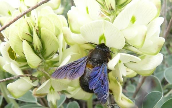 Пчела-плотник-насекомое-Описание-особенности-образ-жизни-и-среда-обитания-пчелы-12
