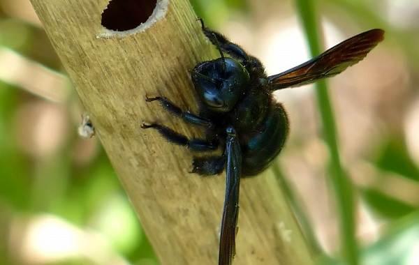 Пчела-плотник-насекомое-Описание-особенности-образ-жизни-и-среда-обитания-пчелы-4