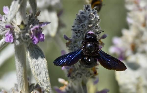 Пчела-плотник-насекомое-Описание-особенности-образ-жизни-и-среда-обитания-пчелы-5