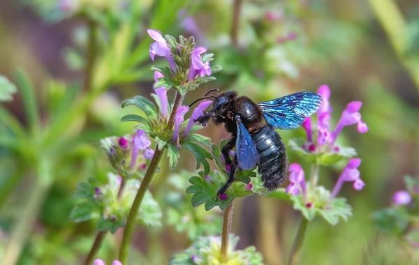 Пчела-плотник-насекомое-Описание-особенности-образ-жизни-и-среда-обитания-пчелы-6