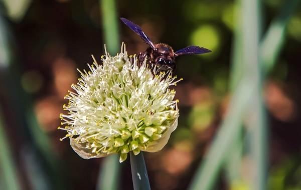 Пчела-плотник-насекомое-Описание-особенности-образ-жизни-и-среда-обитания-пчелы-9