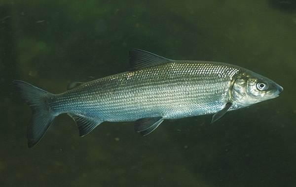 Пелядь-рыба-Описание-особенности-виды-образ-жизни-и-среда-обитания-пеляди-1