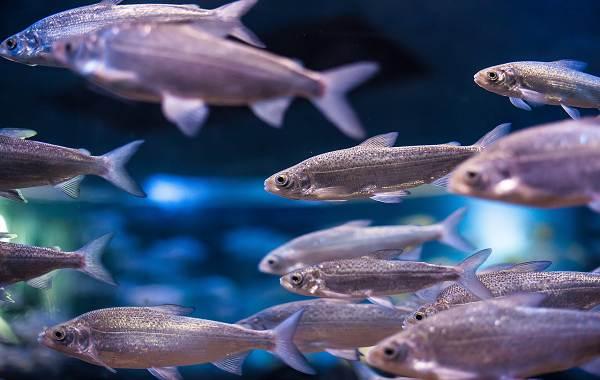 Пелядь-рыба-Описание-особенности-виды-образ-жизни-и-среда-обитания-пеляди-2