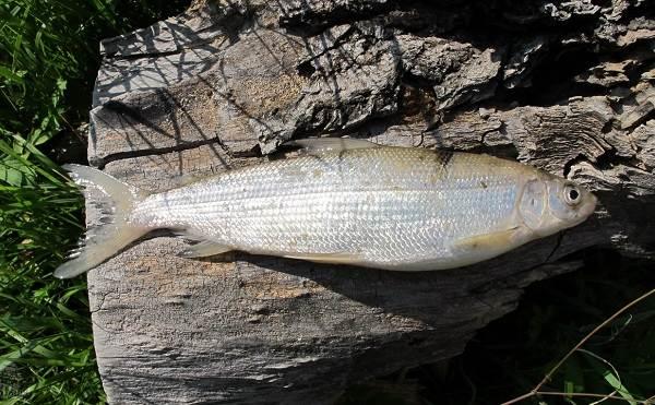 Пелядь-рыба-Описание-особенности-виды-образ-жизни-и-среда-обитания-пеляди-3