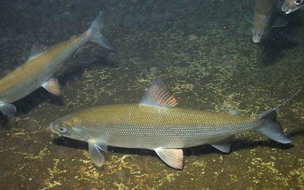 Пелядь-рыба-Описание-особенности-виды-образ-жизни-и-среда-обитания-пеляди-4