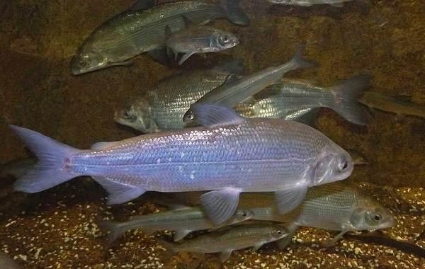 Пелядь-рыба-Описание-особенности-виды-образ-жизни-и-среда-обитания-пеляди-6