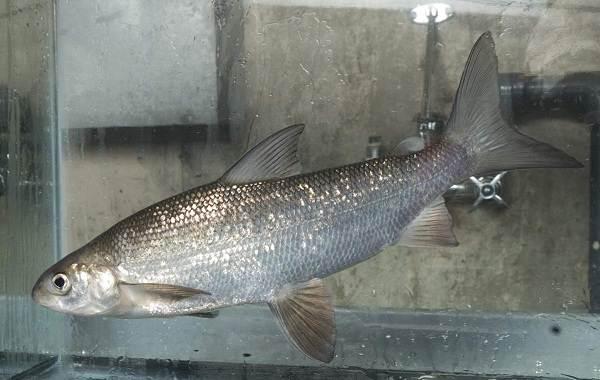 Пелядь-рыба-Описание-особенности-виды-образ-жизни-и-среда-обитания-пеляди-7