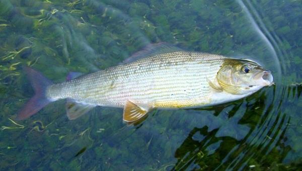 Пелядь-рыба-Описание-особенности-виды-образ-жизни-и-среда-обитания-пеляди-9