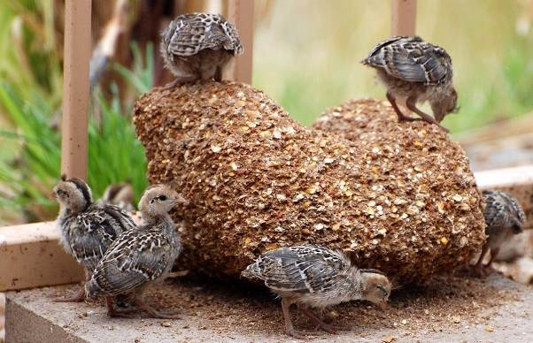 Перепёлка-птица-Описание-особенности-виды-образ-жизни-и-среда-обитания-перепёлки-14