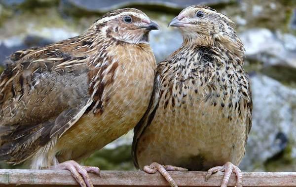 Перепёлка-птица-Описание-особенности-виды-образ-жизни-и-среда-обитания-перепёлки-2
