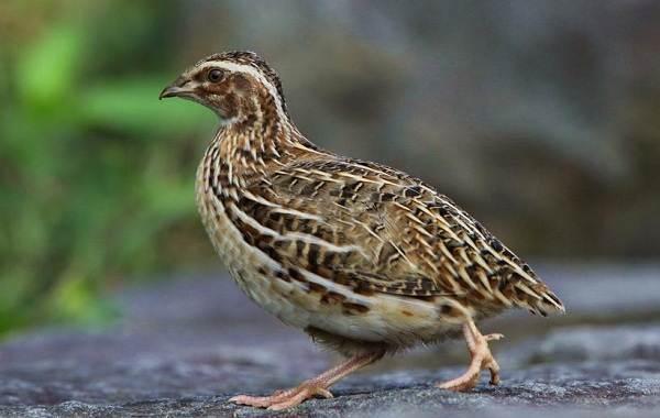 Перепёлка-птица-Описание-особенности-виды-образ-жизни-и-среда-обитания-перепёлки-3
