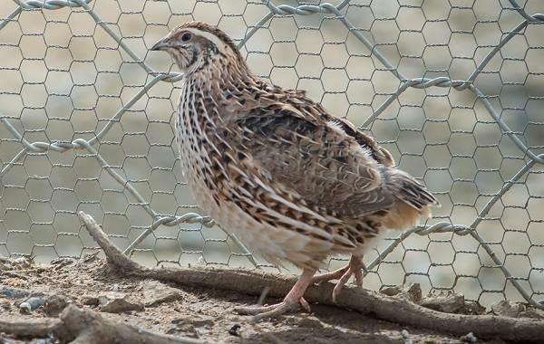 Перепёлка-птица-Описание-особенности-виды-образ-жизни-и-среда-обитания-перепёлки-4