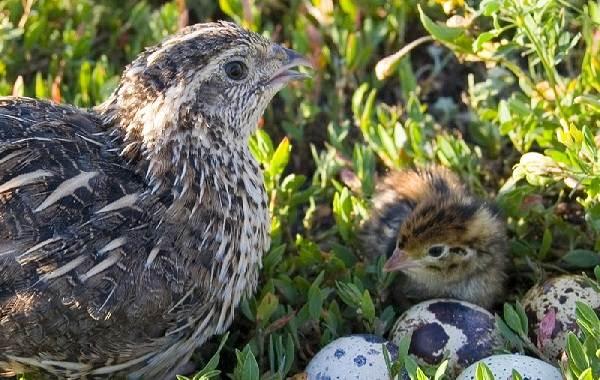 Перепёлка-птица-Описание-особенности-виды-образ-жизни-и-среда-обитания-перепёлки-6