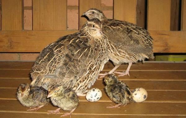 Перепёлка-птица-Описание-особенности-виды-образ-жизни-и-среда-обитания-перепёлки-8