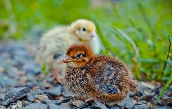 Перепёлка-птица-Описание-особенности-виды-образ-жизни-и-среда-обитания-перепёлки-9
