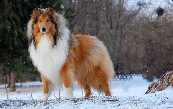 Пушистые-породы-собак-Описание-названия-виды-и-фото-пушистых-пород-собак-11