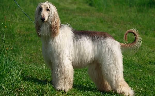 Пушистые-породы-собак-Описание-названия-виды-и-фото-пушистых-пород-собак-12