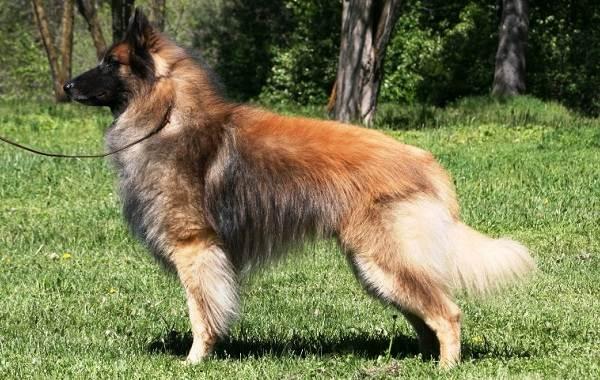 Пушистые-породы-собак-Описание-названия-виды-и-фото-пушистых-пород-собак-13