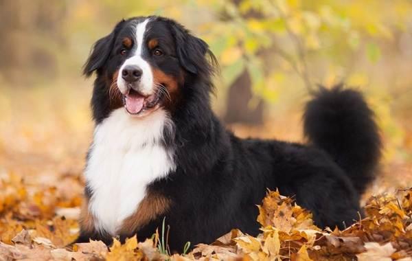 Пушистые-породы-собак-Описание-названия-виды-и-фото-пушистых-пород-собак-14