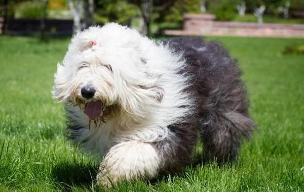 Пушистые-породы-собак-Описание-названия-виды-и-фото-пушистых-пород-собак-15