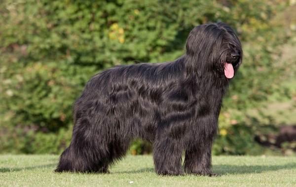 Пушистые-породы-собак-Описание-названия-виды-и-фото-пушистых-пород-собак-16