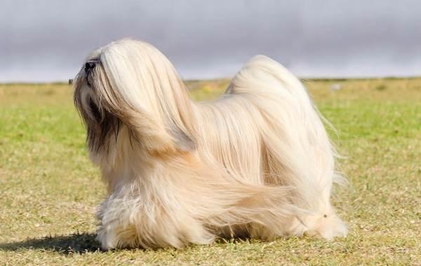 Пушистые-породы-собак-Описание-названия-виды-и-фото-пушистых-пород-собак-17