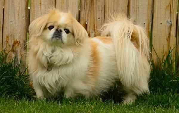 Пушистые-породы-собак-Описание-названия-виды-и-фото-пушистых-пород-собак-4