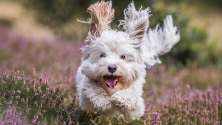 Пушистые породы собак. Описание, названия, виды и фото пушистых пород собак