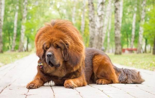 Пушистые-породы-собак-Описание-названия-виды-и-фото-пушистых-пород-собак-5