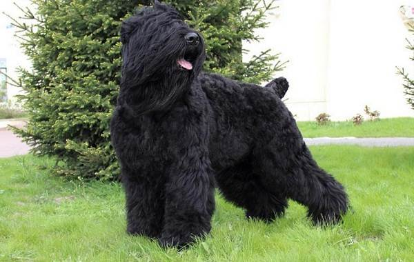 Пушистые-породы-собак-Описание-названия-виды-и-фото-пушистых-пород-собак-6
