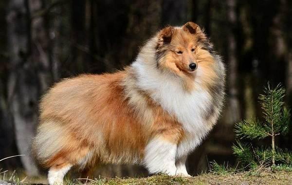 Пушистые-породы-собак-Описание-названия-виды-и-фото-пушистых-пород-собак-7