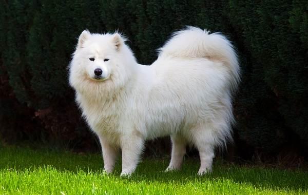 Пушистые-породы-собак-Описание-названия-виды-и-фото-пушистых-пород-собак-8
