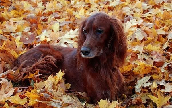 Пушистые-породы-собак-Описание-названия-виды-и-фото-пушистых-пород-собак-9