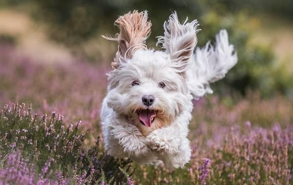 Пушистые-породы-собак-Описание-названия-виды-и-фото-пушистых-пород-собак