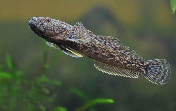 Ротан-рыба-Описание-особенности-виды-образ-жизни-и-среда-обитания-ротана-10